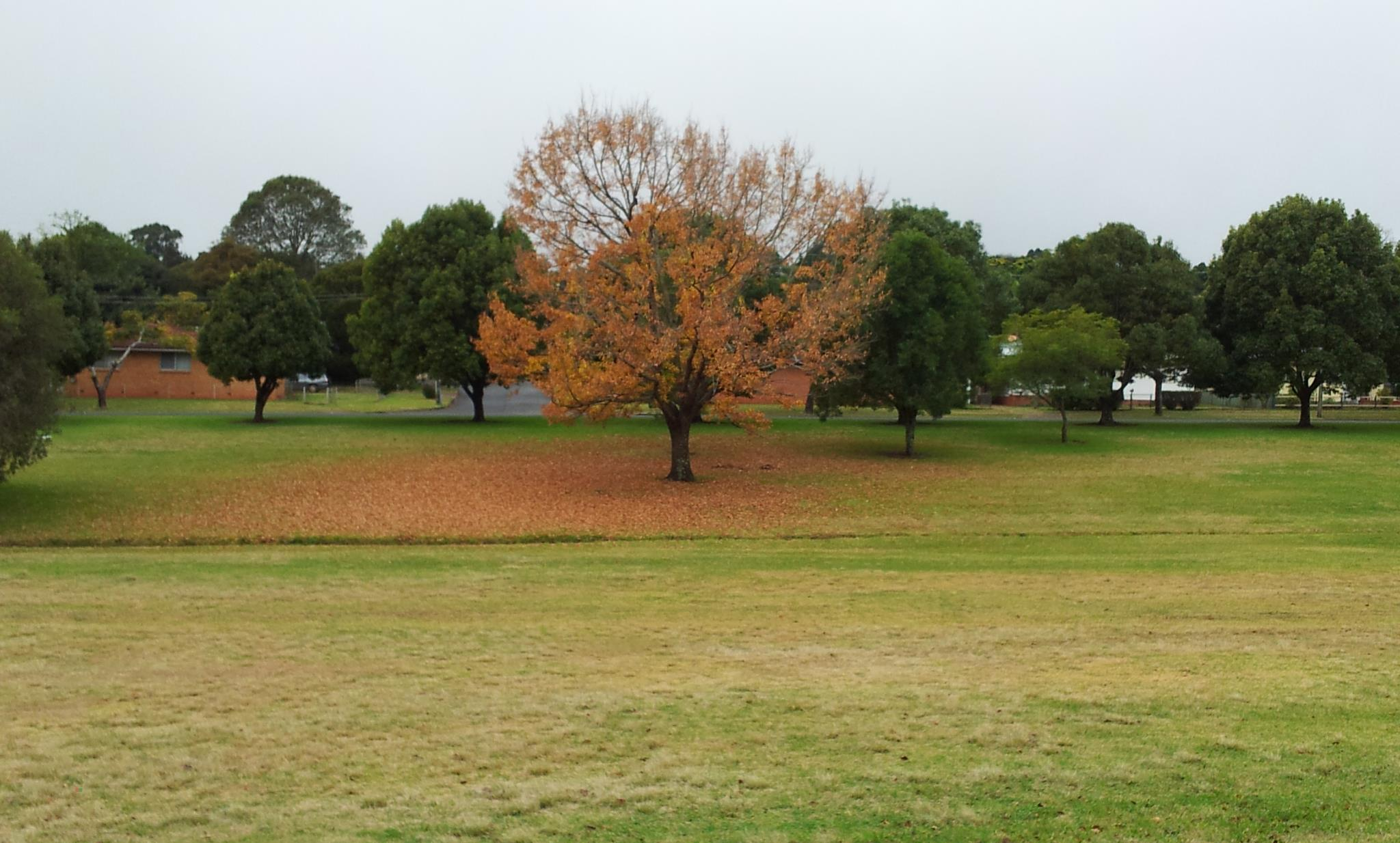 Tree in Autumn, East Creek, Toowoomba